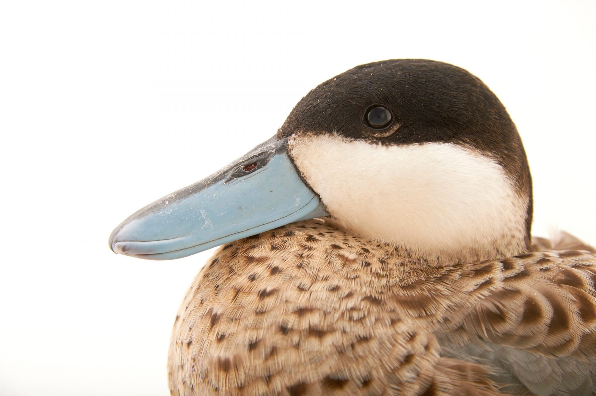 Photo: A male puna teal (Anus puna) at Sylvan Heights Waterfowl Park.