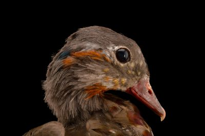 Picture of a male Mandarin duck (Aix galericulata) in full molt at Sylvan Heights Waterfowl Park.
