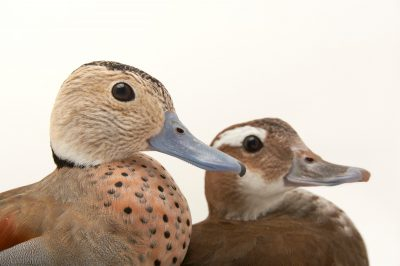 Picture of two ringed teal (Callonetta leucophrys) at Sylvan Heights Waterfowl Park.