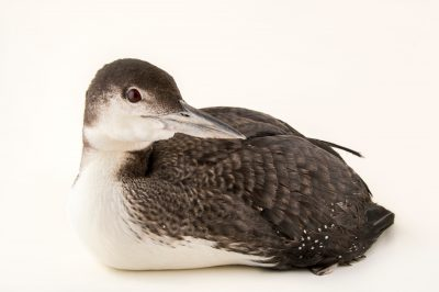 Photo: Common loon (Gavia immer) in winter plumage at International Bird Rescue Center.