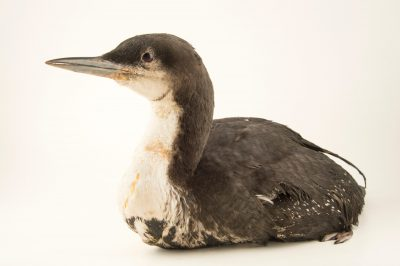 Photo: An oiled Pacific loon (Gavia pacifica) in winter plumage at International Bird Rescue Center.
