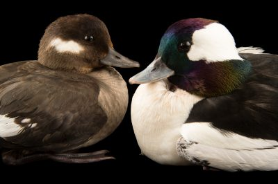 Picture of a male and female bufflehead (Bucephala albeola) at International Bird Rescue Center.