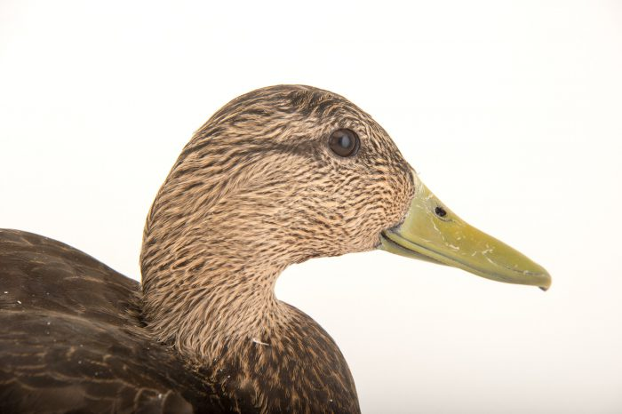 Picture of a male American black duck (Anas rubripes) at the Sylvan Heights Bird Park.