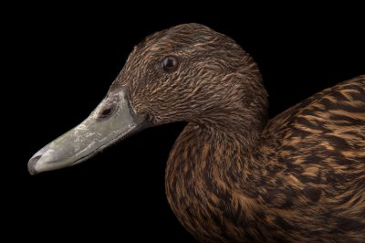 Picture of an endangered Meller's duck (Anas melleri) at the Sylvan Heights Bird Park.