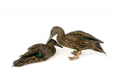Picture of endangered Meller's ducks (Anas melleri) at the Sylvan Heights Bird Park.