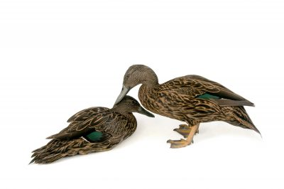 Picture of endangered Meller's ducks (Anas melleri) at the Sylvan Heights Bird Park.