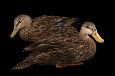 Picture of Florida ducks (Anas fulvigula fulvigula) at the Sylvan Heights Bird Park.