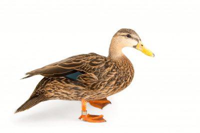 Picture of a Florida duck (Anas fulvigula fulvigula) at the Sylvan Heights Bird Park.