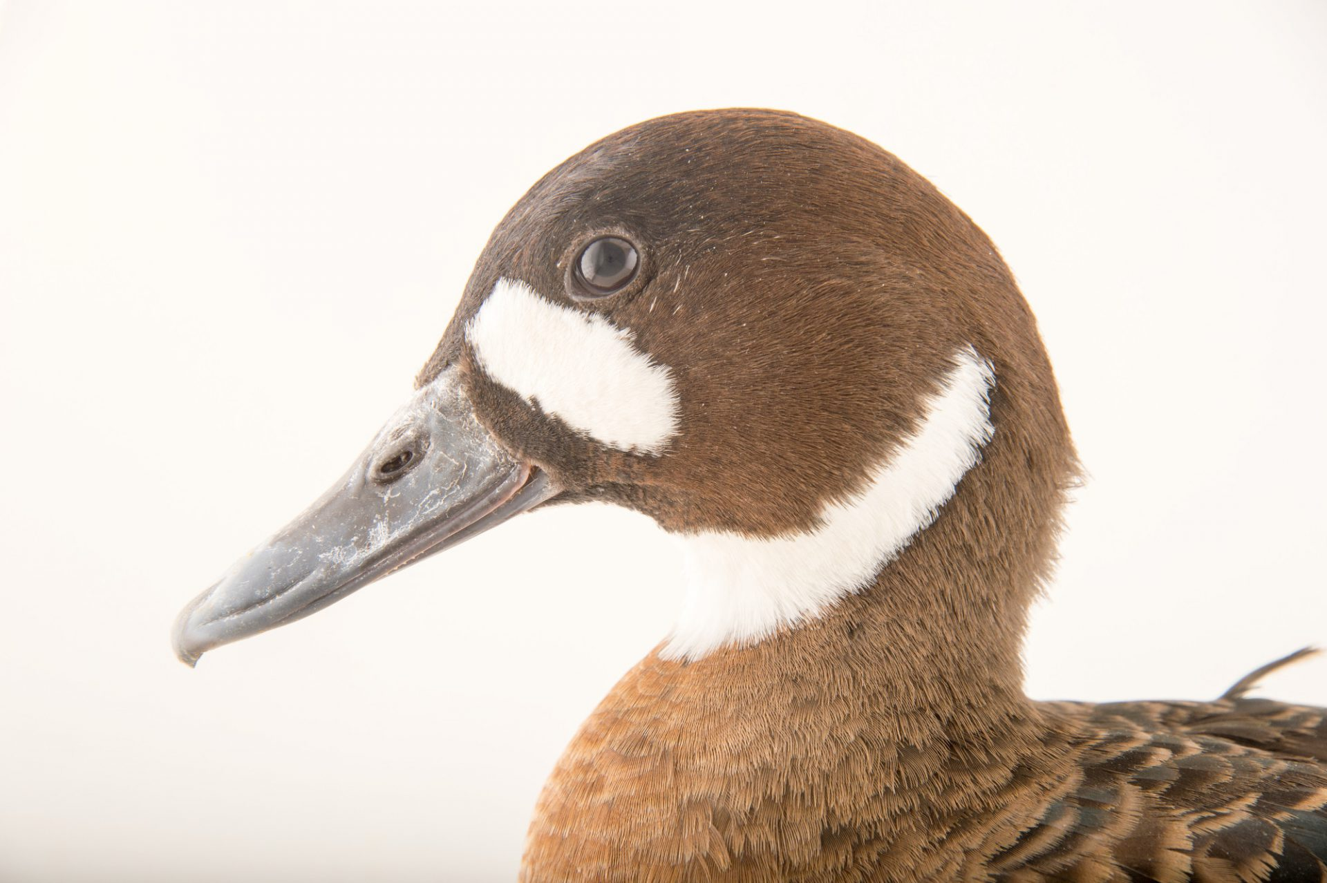 Picture of a spectacled duck (Speculanas specularis) at the Sylvan Heights Bird Park.