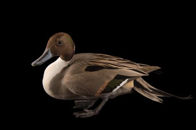 Picture of a northern pintail (Anas acuta) at the Sylvan Heights Bird Park.