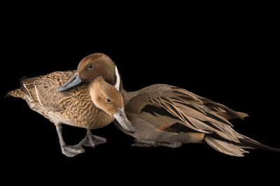 Picture of a male and a female Northern pintail (Anas acuta) at the Sylvan Heights Bird Park.