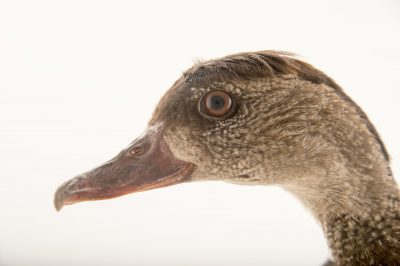Picture of a spotted whistling duck (Dendrocygna guttata) at the Sylvan Heights Bird Park.