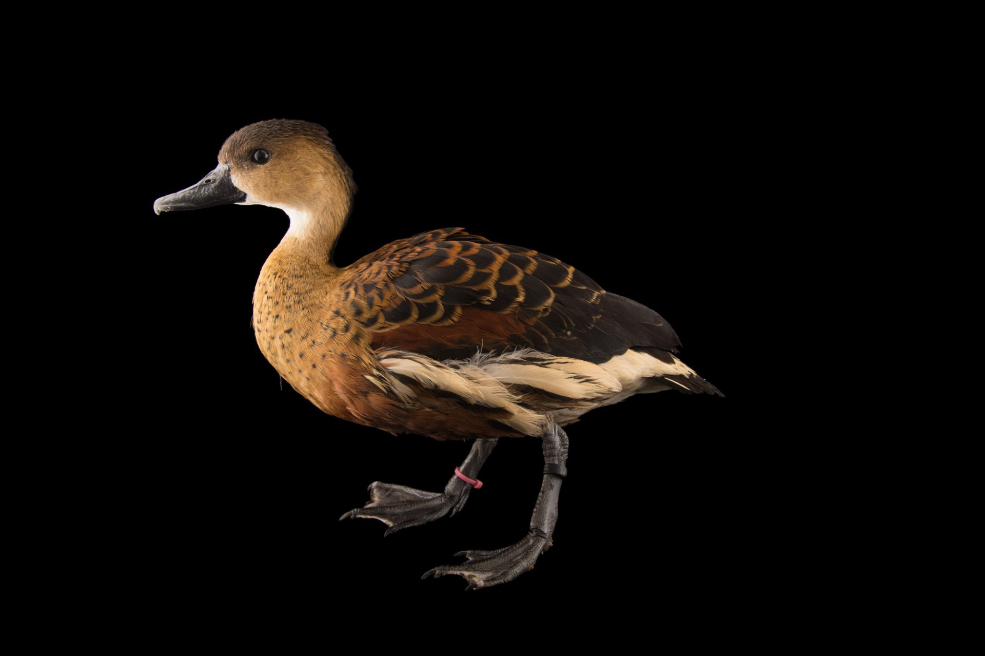 Picture of a wandering whistling duck (Dendrocygna arcuata) at the Sylvan Heights Bird Park.