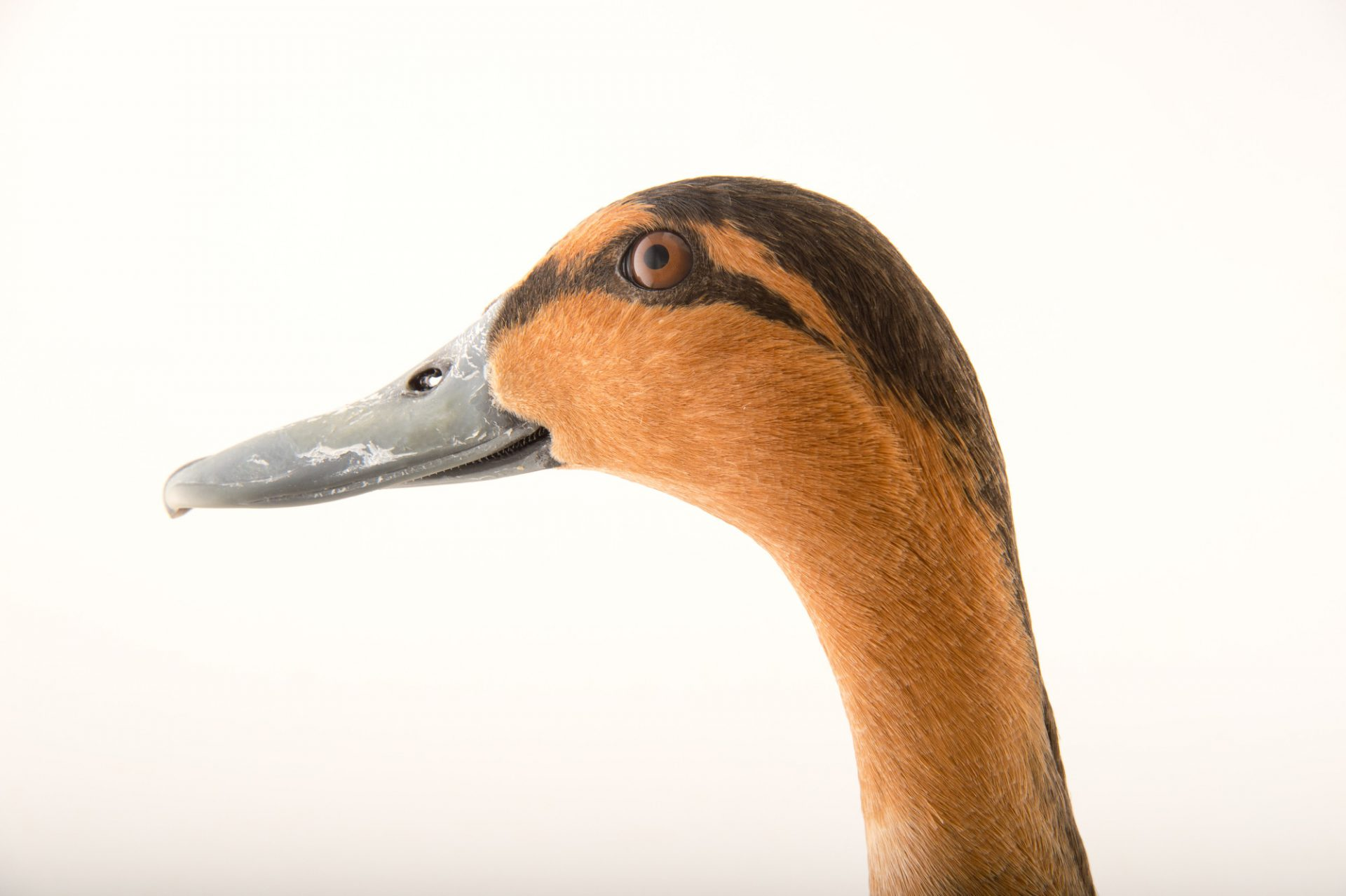 Picture of a vulnerable Philippine duck (Anas luzonica) at the Sylvan Heights Bird Park.