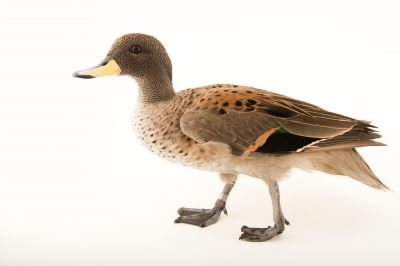 Picture of a sharp-winged teal (Anas flavirostris oxyptera) at the Sylvan Heights Bird Park.