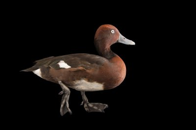 Picture of a ferruginous duck (Aythya nyroca) at the Sylvan Heights Bird Park.