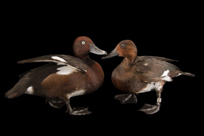 Picture of ferruginous ducks (Aythya nyroca) at the Sylvan Heights Bird Park.