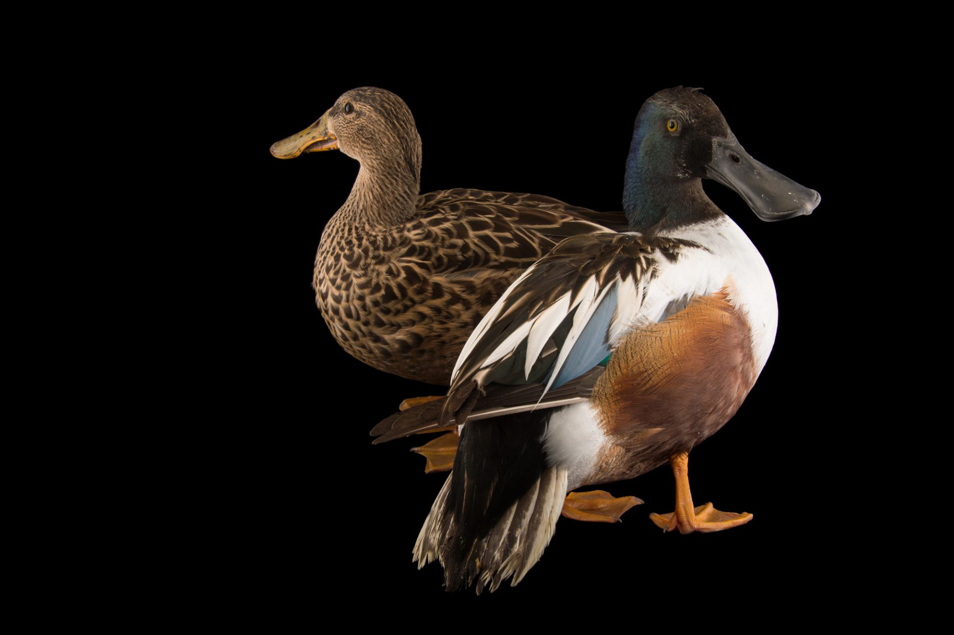 Picture of Northern shovelers (Anas clypeata) at the Sylvan Heights Bird Park.
