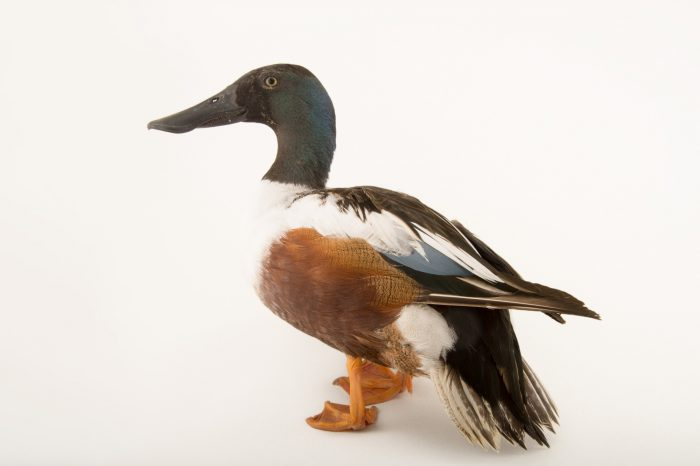 Picture of a northern shoveler (Anas clypeata) at the Sylvan Heights Bird Park.