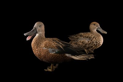 Picture of Argentine red shovelers (Anas platalea) at the Sylvan Heights Bird Park.