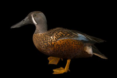 Picture of an Australasian shoveler (Anas rhynchotis) at the Sylvan Heights Bird Park.