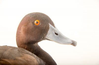 Picture of a southern pochard (Netta erythrophthalma) at the Sylvan Heights Bird Park.