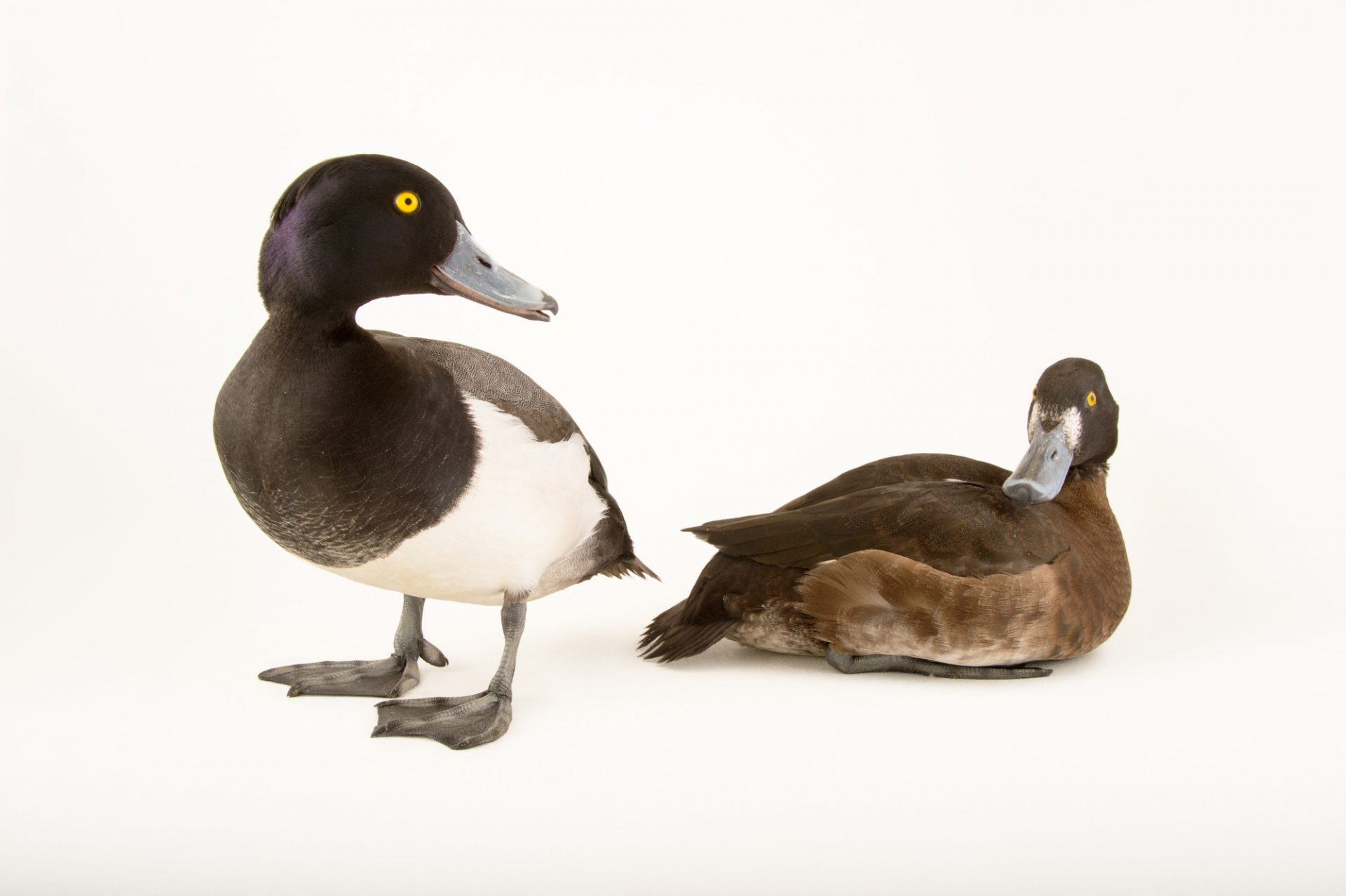 Picture of tufted ducks (Aythya fuligula) at the Sylvan Heights Bird Park.