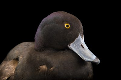 Picture of a New Zealand scaup (Aythya novaeseelandiae) at the Sylvan Heights Bird Park.