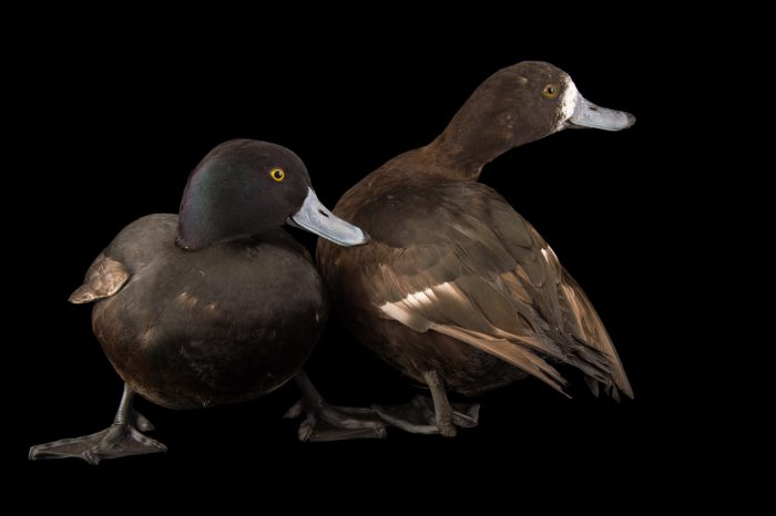 Picture of a New Zealand scaups (Aythya novaeseelandiae) at the Sylvan Heights Bird Park.