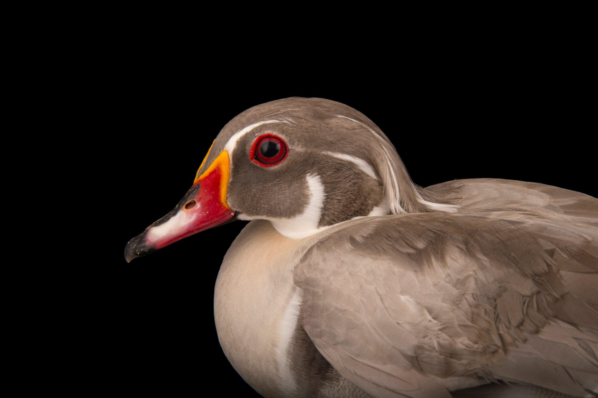 The silver color phase of the wood duck (Aix sponsa) at the Sylvan Heights Bird Park.