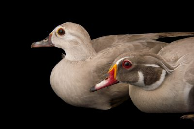 Picture of a male and female silver color phased wood ducks (Aix sponsa) at the Sylvan Heights Bird Park.