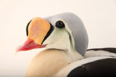 Picture of a male king eider (Somateria spectabilis) at the Sylvan Heights Bird Park.
