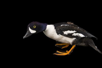 Picture of a Barrow's goldeneye (Bucephala islandica) at the Sylvan Heights Bird Park.