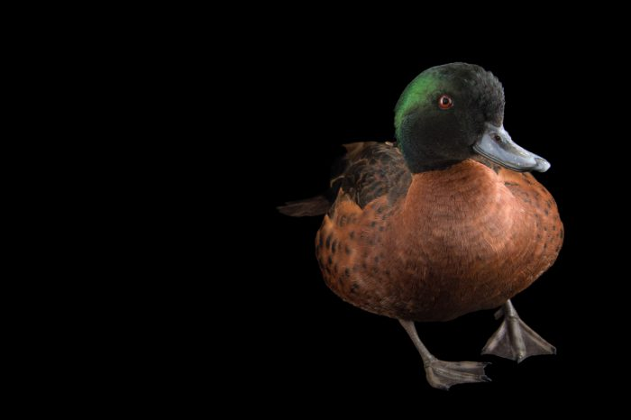Picture of a chestnut teal (Anas castanea) at the Sylvan Heights Bird Park.