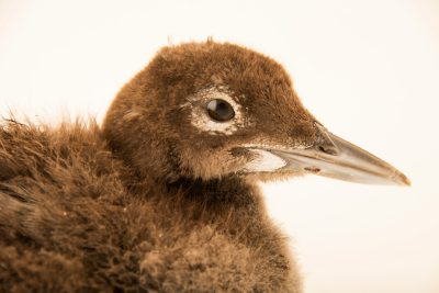 Photo: Common loon baby (Gavia immer) at the Wildlife Rehabilitation Center of Minnesota.