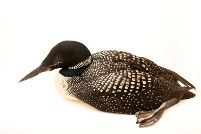 Photo: A female common loon (Gavia immer) at the Wildlife Rehabilitation Center of Minnesota.