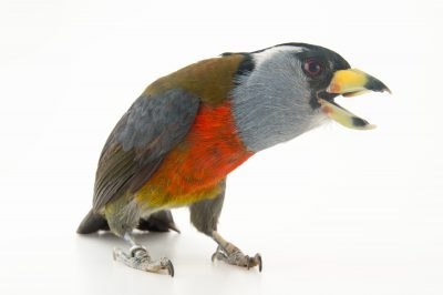 Picture of a toucan barbet (Semnornis ramphastinus) at the National Aviary breeding center in Palmar, Colombia.