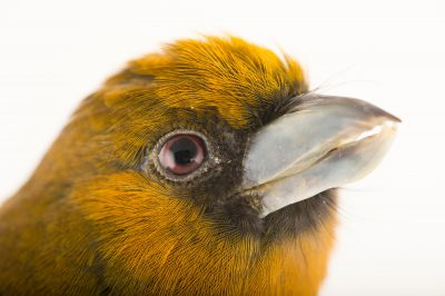 Picture of a prong-billed barbet (Semnornis frantzii) at the Dallas World Aquarium.