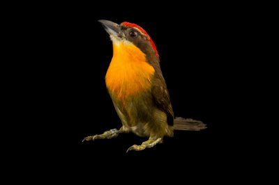 Picture of a scarlet-crowned barbet (Capito aurovirens) at the Dallas World Aquarium.