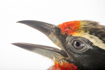 Picture of a black-spotted barbet (Capito niger) at the Dallas World Aquarium.