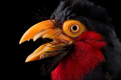 Picture of a bearded barbet (Lybius dubius) at the Houston Zoo.