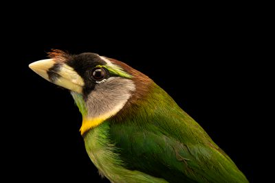 Photo: Fire-tuffed barbet (Psilopogon pyrolophus) in Arona, Tenerife, Spain.