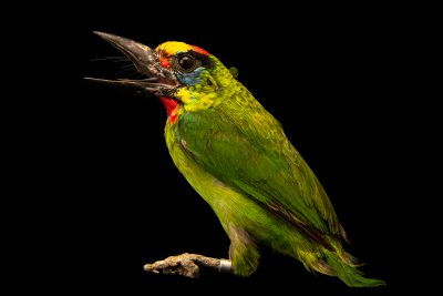 Photo: Flame-fronted barbet (Megalaima armillaris) in Arona, Tenerife, Spain.