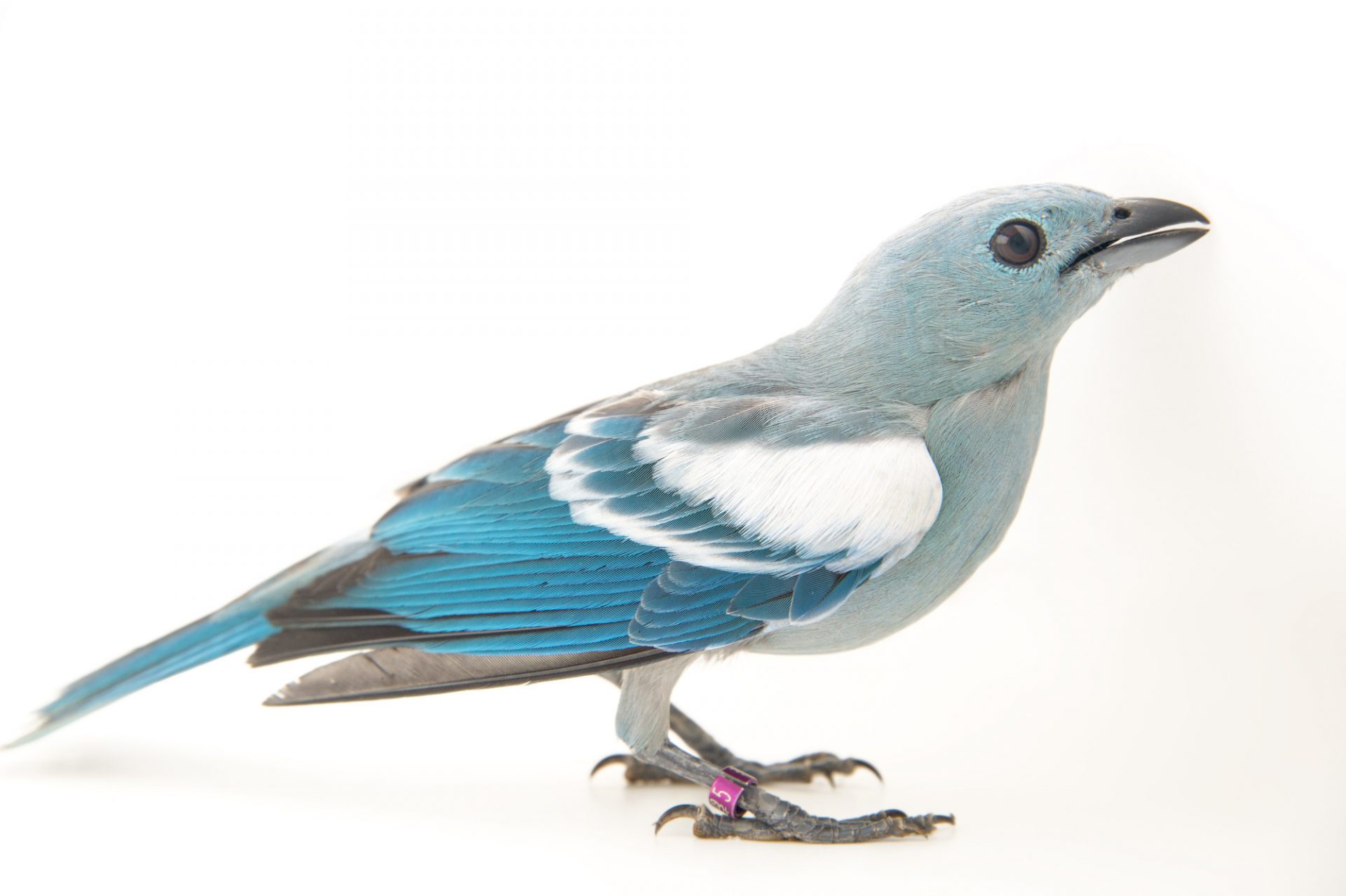 A blue-grey tanager (Tangara episcopus media) at the National Aviary breeding center in Palmar, Colombia.
