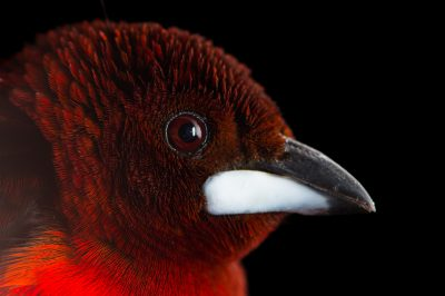 Picture of a crimson-backed tanager (Ramphocelus dimidiatus) at the National Aviary breeding center in Palmar, Colombia.