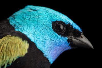 Picture of a blue-necked tanager (Tangara cyanicollis) at the National Aviary breeding center in Palmar, Colombia.