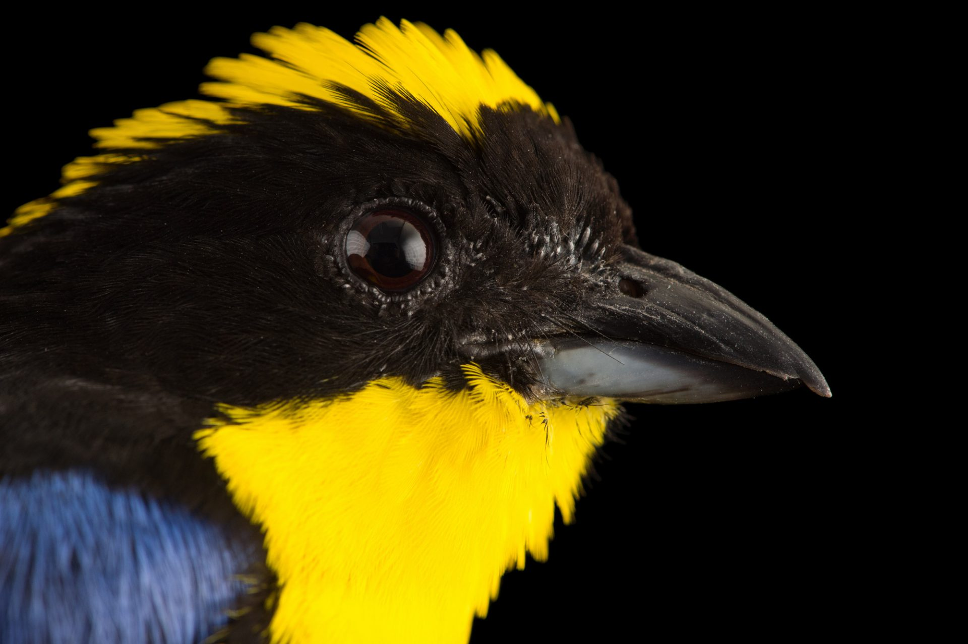 Picture of a blue-winged mountain-tanager (Anisognathus somptuosus) at the National Aviary breeding center in Palmar, Colombia.