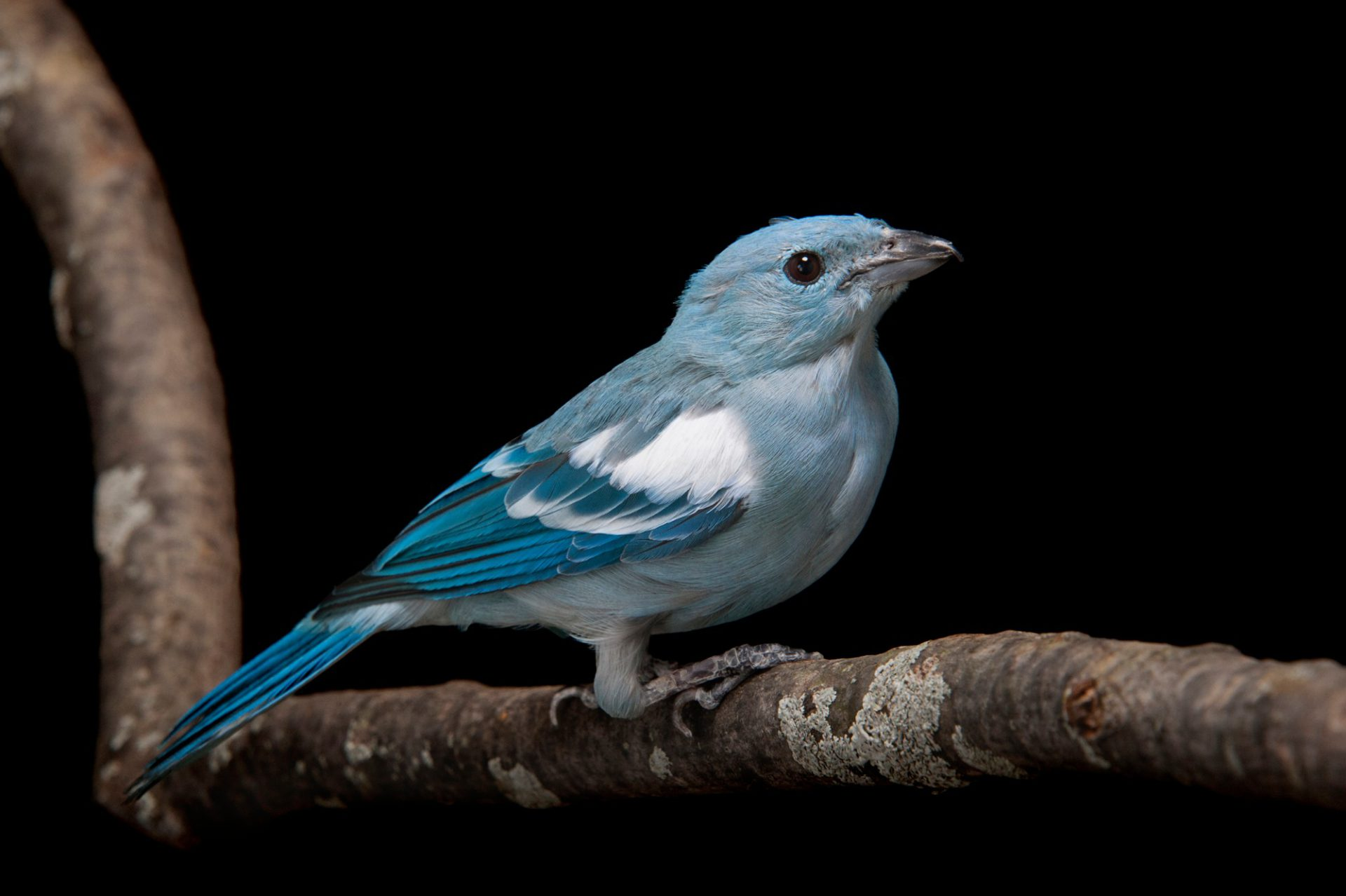 Photo: A blue-grey tanager (Thraupis episcopus) at the Miller Park Zoo.