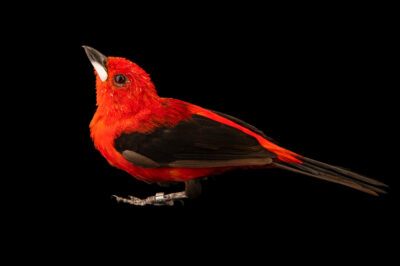Photo: A male Brazilian tanager (Ramphocelus bresilius) at the Zoo Berlin.