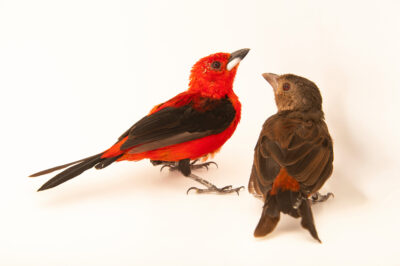 Photo: Two Brazilian tanagers (Ramphocelus bresilius) at the Zoo Berlin.